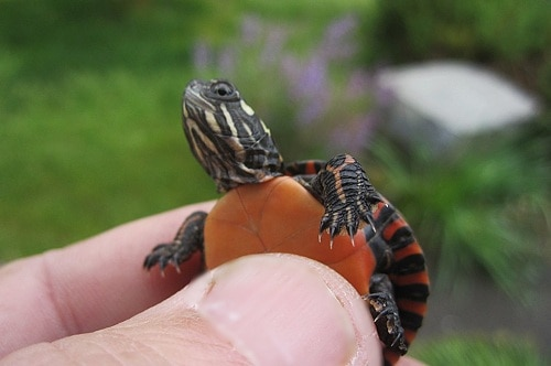 How to Trim Red Eared Slider Nails