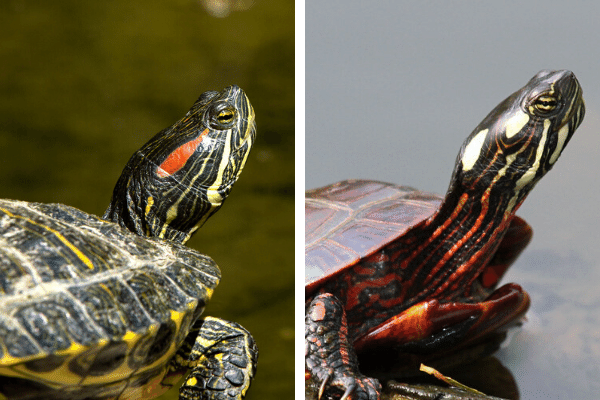 Red Eared Slider vs. Painted Turtle
