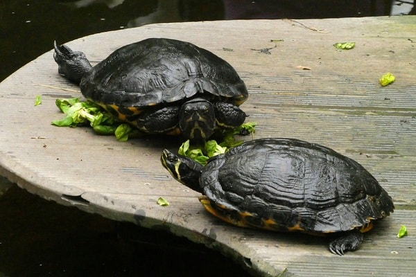 Required Vitamins For Red-Eared Sliders