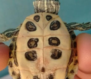 Shell Rot turtle