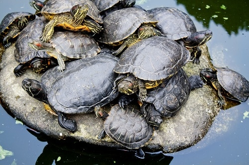 how long do red eared sliders brumate