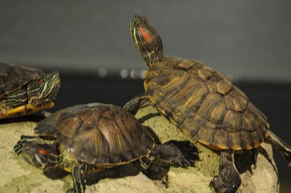 Are Red Eared Sliders Invasive