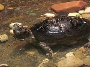 Coahuilan Box Turtle