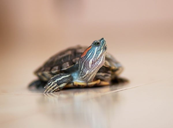 Red Eared Slider Fun Facts