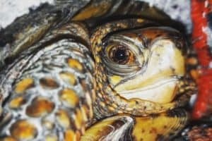 box turtle full size