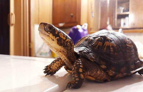 can a box turtle bite