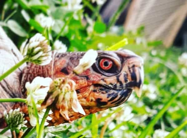 can a pet box turtle survive in the wild