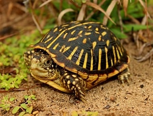 ornate-box-turtle