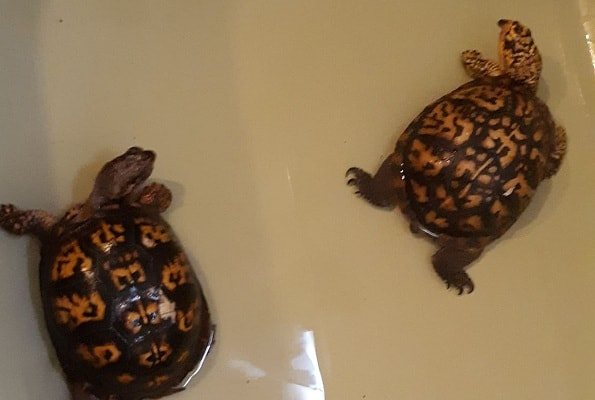 Should You House Multiple Box Turtles