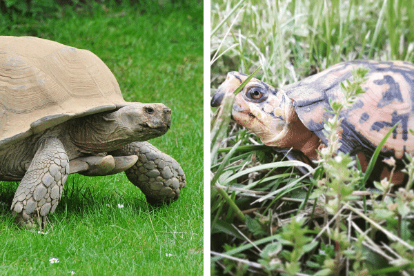 Why Is A Box Turtle Not A Tortoise