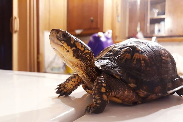 box turtle growth rate