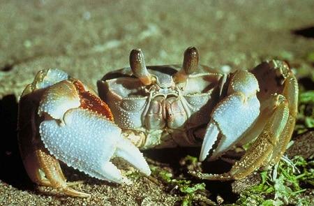 box turtle predator ghost crab