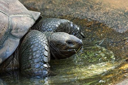box turtle predator giant tortoise
