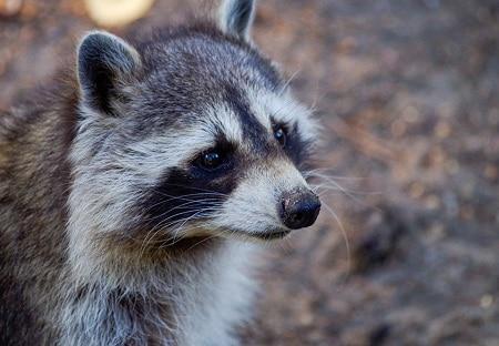 box turtle predator raccoon