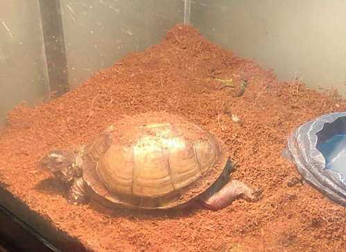 box turtle substrate