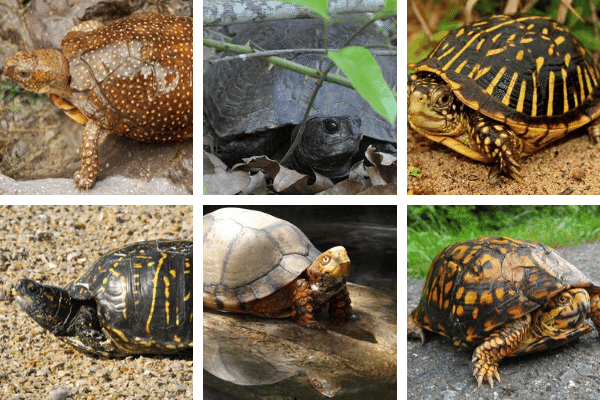 Best Beginner Box Turtle Species