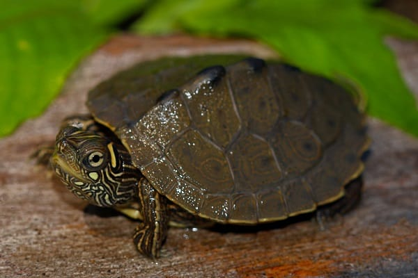 How Long Do Map Turtles Live In Captivity