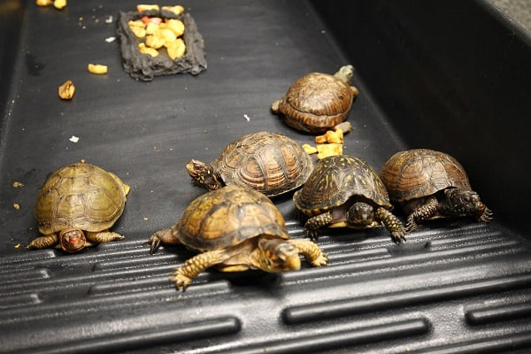 How To Breed Box Turtles In Captivity
