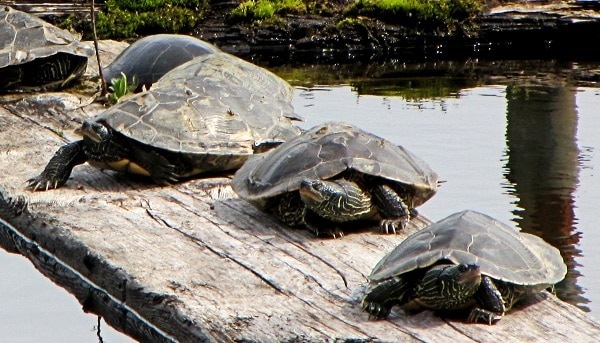 map turtle facts