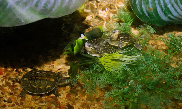 how much map turtles cost