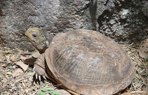 dessert box turtle