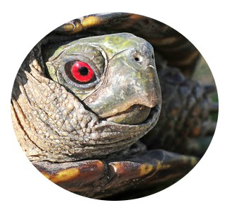 male box turtle eye