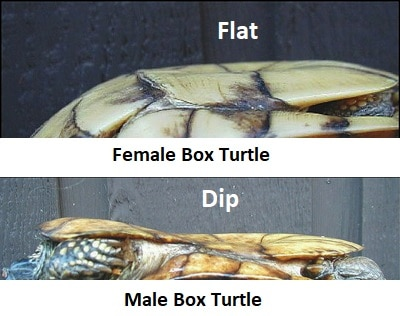 male vs female box turtle plastron