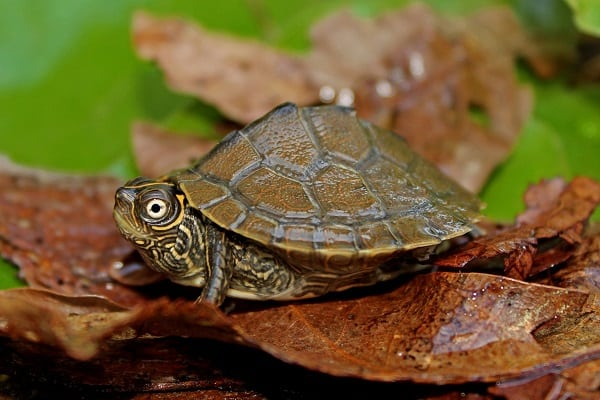 how big do map turtles get