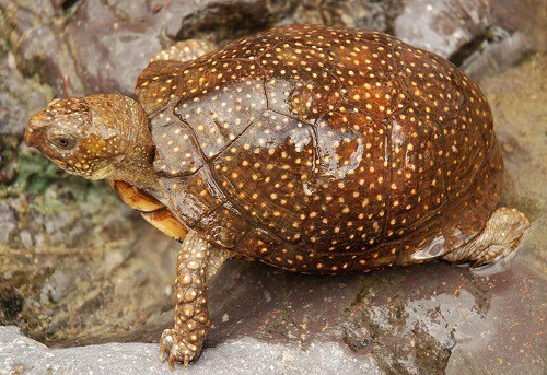 spotted box turtle