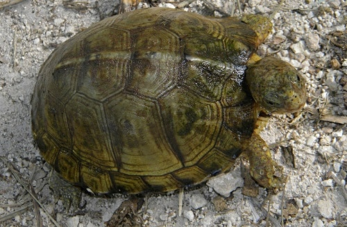 yucatan box turtle