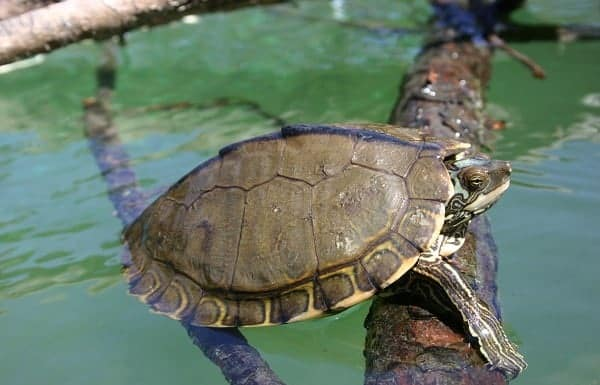 when do map turtles lay eggs