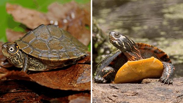 Map Turtle vs. Painted Turtle