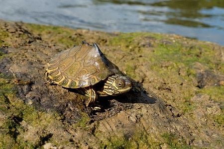 Pascagoula Map Turtle