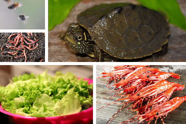 Proper Diet For Map Turtles In Captivity