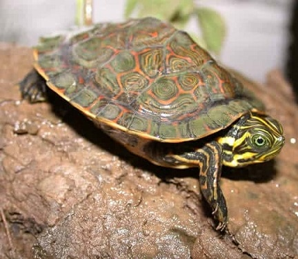 Eastern River Cooter Turtle