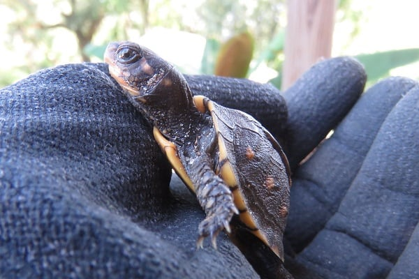 How to Breed Map Turtles in Captivity
