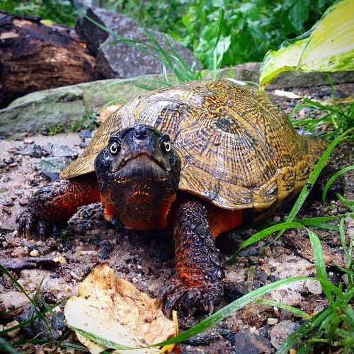 North American Wood Turtle