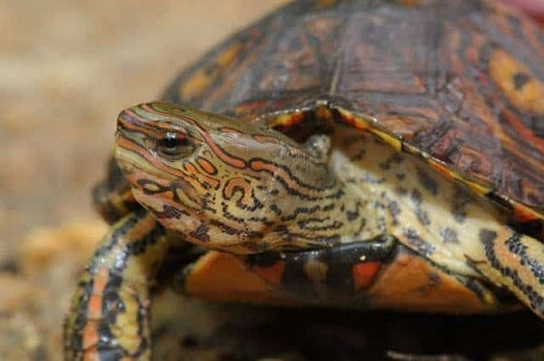 Ornate Wood Turtle