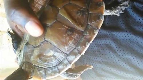 turtle shell shedding