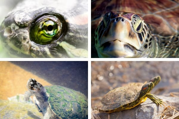 Map Turtle Health Problems