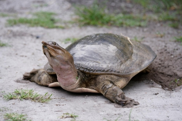 How Big Do Softshell Turtles Get