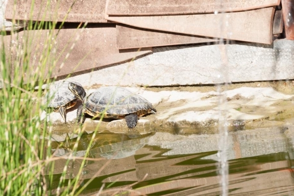 How To Prepare A Turtle Pond For Winter
