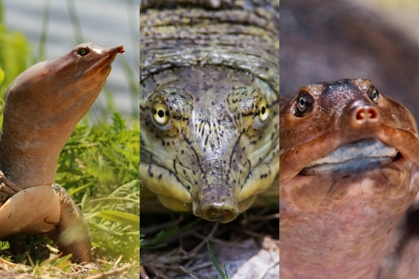 Are Softshell Turtles Endangered