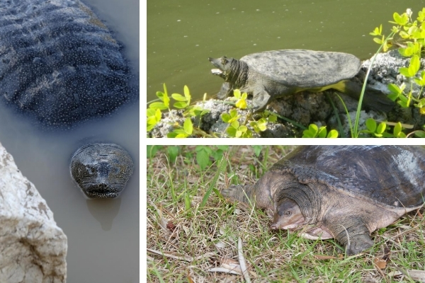Are Softshell Turtles Rare