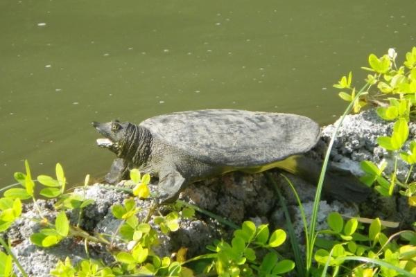 Do Softshell Turtles Need A Basking Area