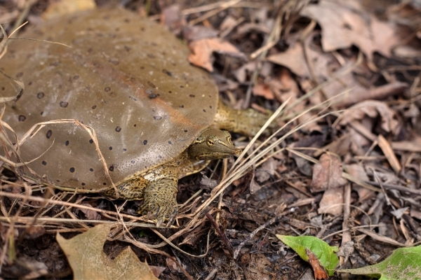 How Long Can A Softshell Turtle Live
