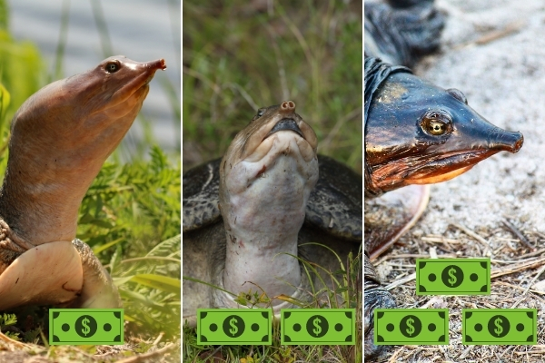How Much Do Softshell Turtles Cost