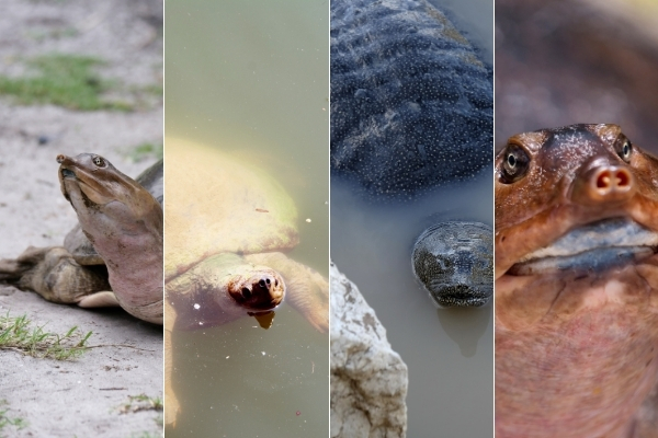 Where Do Softshell Turtles Live