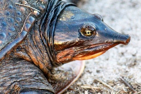 How To Tell The Gender Of A Softshell Turtle