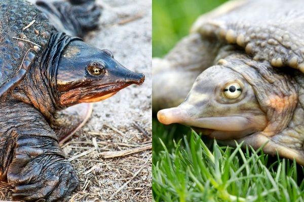 Ideal Tank Mates Of Softshell Turtles